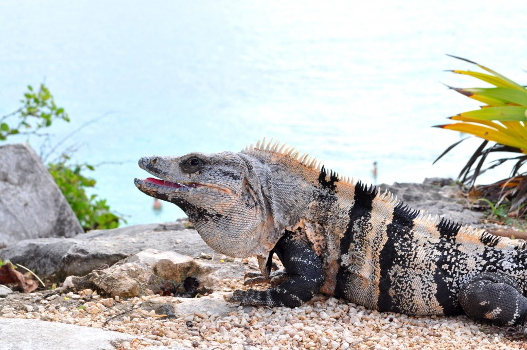 Tulum is home to lots of iguanas, so watch your step!